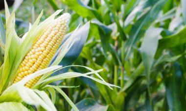 marché du maïs